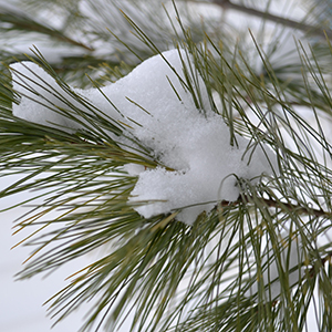 tree-branch-w-snow-300
